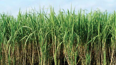 उखु उत्पादक किसानबीच लोकप्रिय हुँदै 'ट्रेन्च' प्रविधि