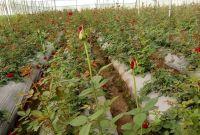 चितवनका युवा किसान प्रकाश पन्तले बेचे १० लाखको गुलाब