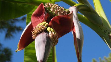 केराको फुल(बुङ्गा) खानुका फाइदा