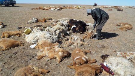 अत्याधिक जाडोका कारण मङ्गोलियामा २६ हजार जनावर मरे