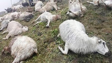 अज्ञात रोगले सुनकोसीमा ५० बाख्रा मरे
